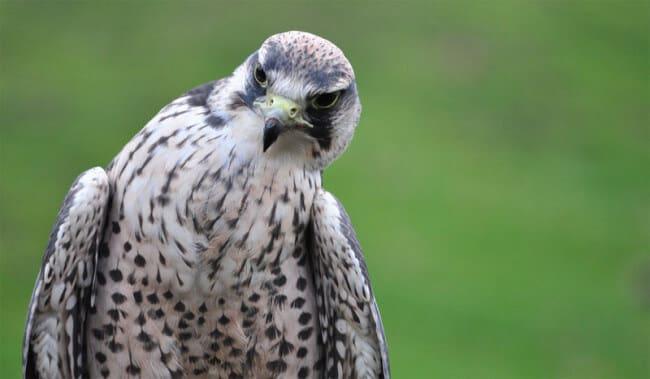 confused falcon