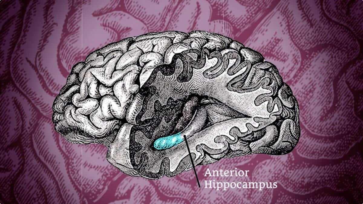 anterior hippocampus